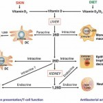 Immune T cells VitD vitamindwiki