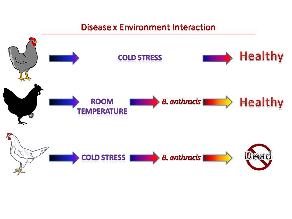 Figure 1. Pasteur's experiment using cold water stress to induce susceptibility to Bacillus anthracis in chickens. Pasteur's earlier experiments with chickens revealed that they did not die of anthrax following an infection with the putative germs that cause this disease, now known as B. anthracis. This was a dilemma because the data did not support the concept of the germ theory of disease. Chickens have a normal body temperature that is three Celsius degrees higher than mammals. Pasteur hypothesized this is why avian species do not contract anthrax. To test this hypothesis, he made chickens hypothermic by restraining chickens with either gray or white feathers in a bucket and exposing the bottom third of their body to ice water. The chicken with white feathers was inoculated with B. anthracis and subsequently died. The other chicken with gray feathers that was subjected to hypothermia and not inoculated remained healthy. The chicken with black feathers that was inoculated with B. anthracis but not subjected to hypothermia remained healthy. This experiment confirmed Pasteur's earlier results by demonstrating that, at least in chickens, B. anthracis alone is not sufficient to cause anthrax. Furthermore, hypothermia alone did not cause the disease, although this finding certainly did not refute the germ theory. Instead, both a cold water stress and pathogenic bacteria were needed to cause anthrax in chickens. This experiment convinced Pasteur that B. anthracis is the true cause of anthrax in chickens. These data established an experimental basis for disease by environment interactions