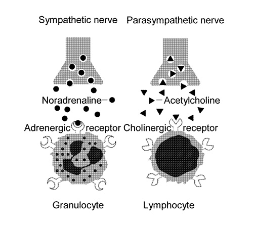 Figure 3. Adrenergic receptors on granulocytes and cholinergic receptors on lymphocytes Granulocytes and lymphocytes are generated from macrophages in the phylogenetic development.