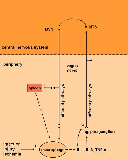 vagus nerve and immune system