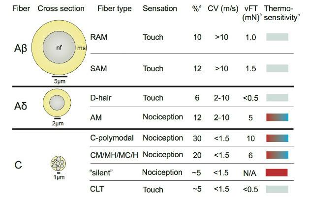 Ewan St John Smith sensory fibers