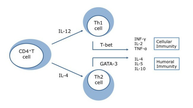 Stress-Induced Th2 Shift and Thyroid Autoimmunity Figure 1