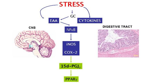 pro- and anti-inflammatory effects stress