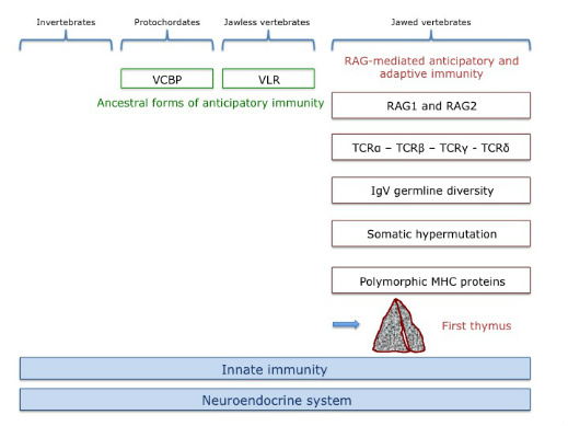 thymus emergence schematic figure