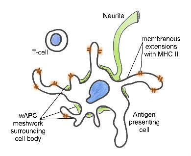 Figure 5 Nervous System Relationship Immune Events